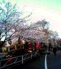 三ツ沢公園の桜 其の壱