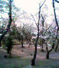 三ツ沢公園の桜 其の弐