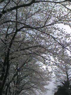 桜 〜 その1 〜
