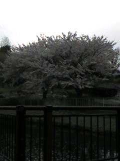 桜 〜其の壱〜