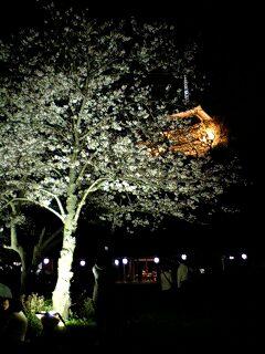 三溪園の夜桜